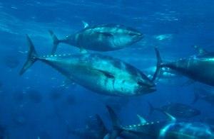 tuna-660x433