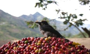 Bird on coffee cherries