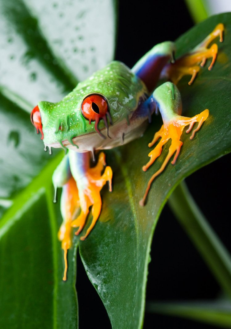 amphibian decline essay 2009 The worldwide amphibian decline introduction amphibians are extremely vital in the ecosystem as secondary food consumers since they are the prey items for vertebrates and invertebrates and control the biological pest.
