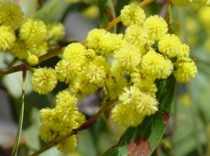 golden wattle (Acacia pycnantha)