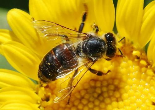 global pollinator declines trends impacts and drivers