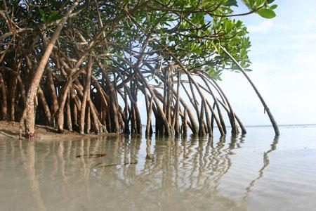 World Mangrove Day | Bali | The Plastic Bank Mangrove