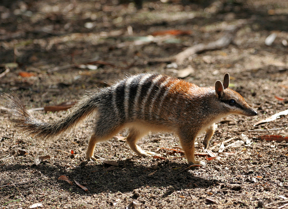 conservation on australian wildlife A history of conservation era of this era brought a more scientific approach to the conservation of wildlife and fish populations that were diminishing.