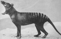 thylacine mouth