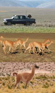 Guanaco fleeing