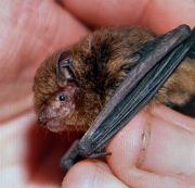 Christmas Island pipistrelle bat (Pipistrellus murrayi). © M. Schultz