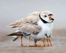 Piping plover is keeping its chicks warm © Michael Milicia