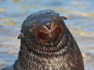 smiling fur seal