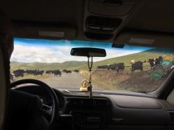 A constant hazard in the Tibetan Plateau - yakjam