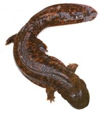 hellbender-salamander
