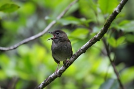 Puaiohi or small Kaua'i thrush. Photo by Lucas Behnke