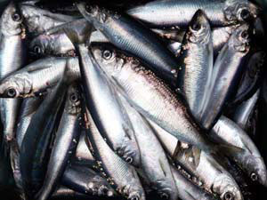 pacificherring_noaa