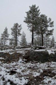 Forest in Abisko, Sweden by Simon Schowanek