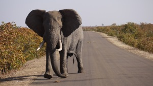 Subject to increasing poaching in Kruger as well (photo by CJA Bradshaw)