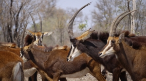 The elusive and impressive sable antelope (Hippotragus niger)