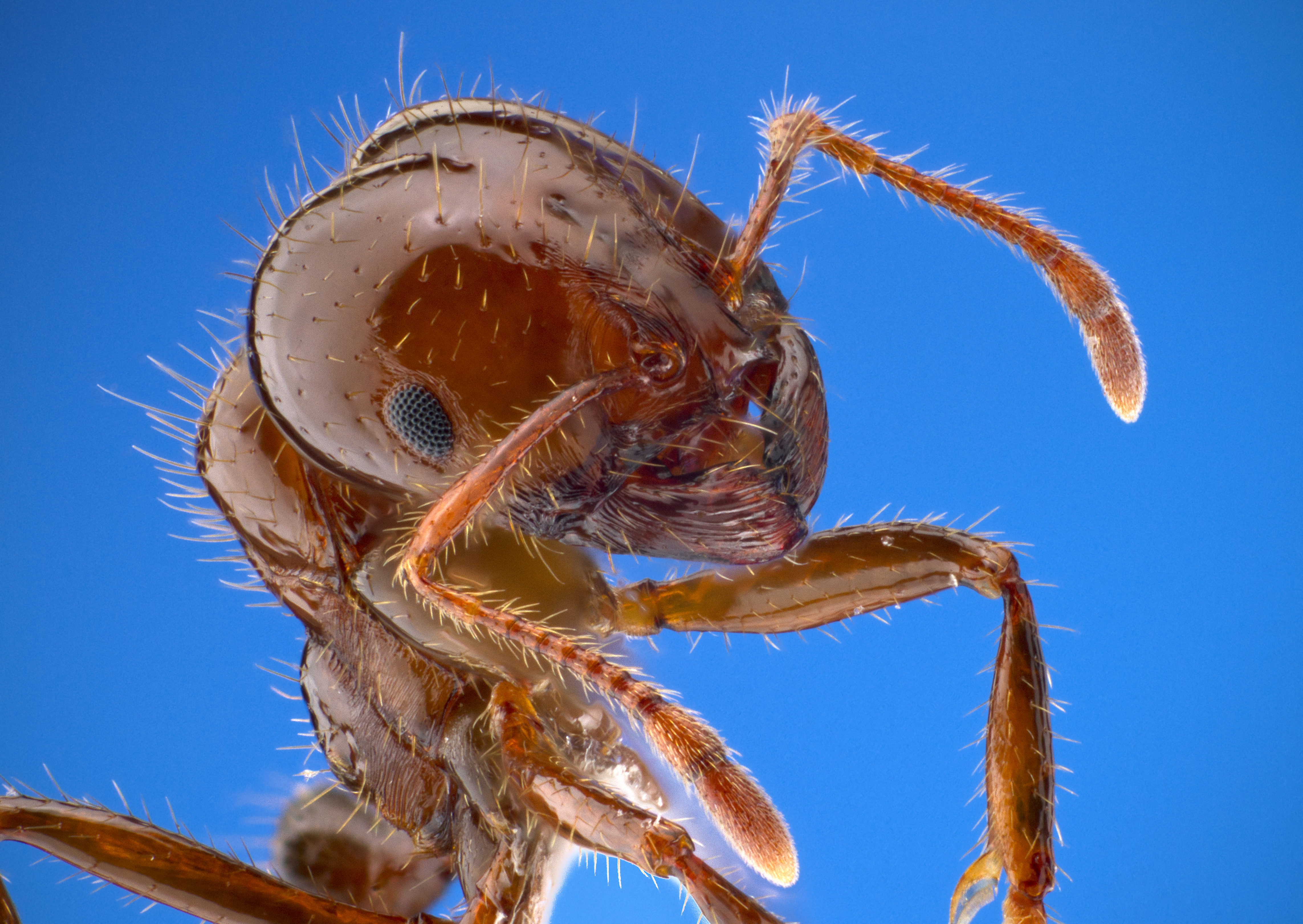 Invasive Species Filefrench Drain Diagramjpg Wikipedia The Free Encyclopedia Portrait Of A Red Imported Fire Ant Solenopsis Invicta This Arrived To