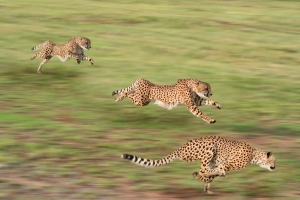 cheetah_shutterstock_37268149