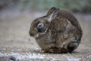 myxo-rabbit