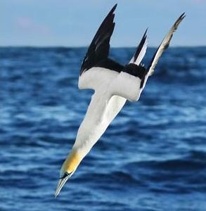 Gannet Shallow Diving 03