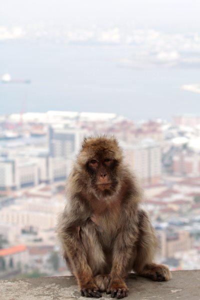 Urban monkey living (Macaque, Gibraltar) small