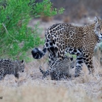 Save a jaguar by eating less meat