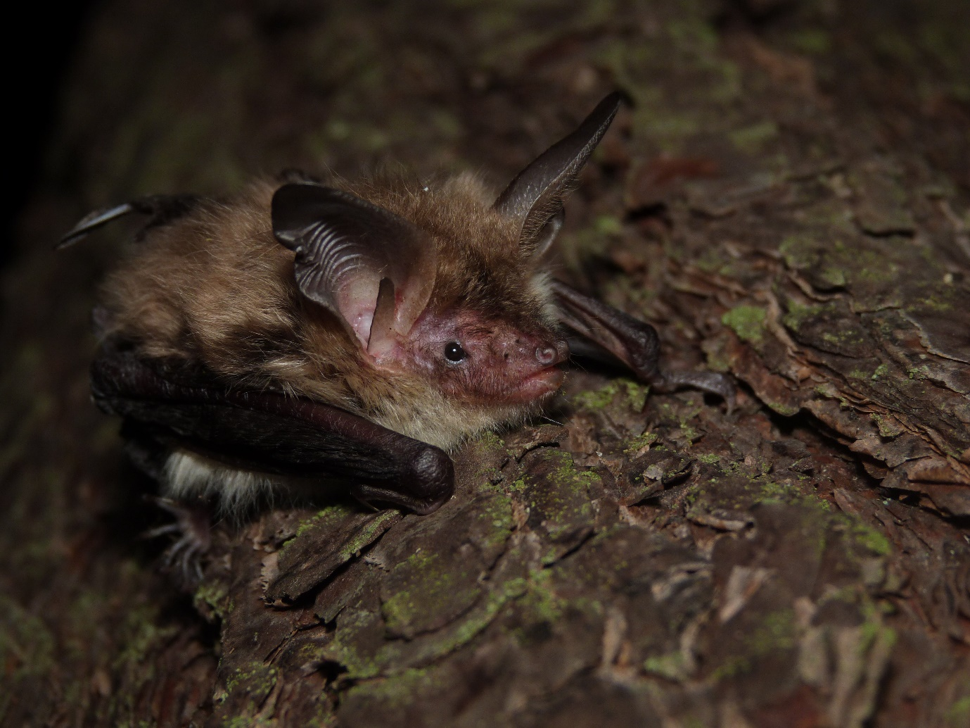 Bechstein's bat – photo credit Claire Wordley