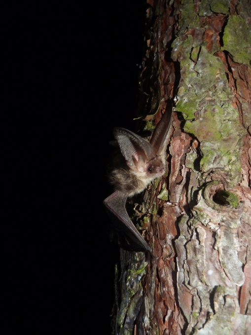 Brown long-eared bat – photo credit Claire Wordley