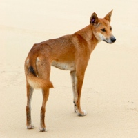 The dingo is a true-blue, native Australian species