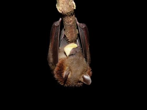 Short-nosed fruit bat – photo credit Claire Wordley