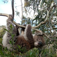 Koala extinctions past, present, and future