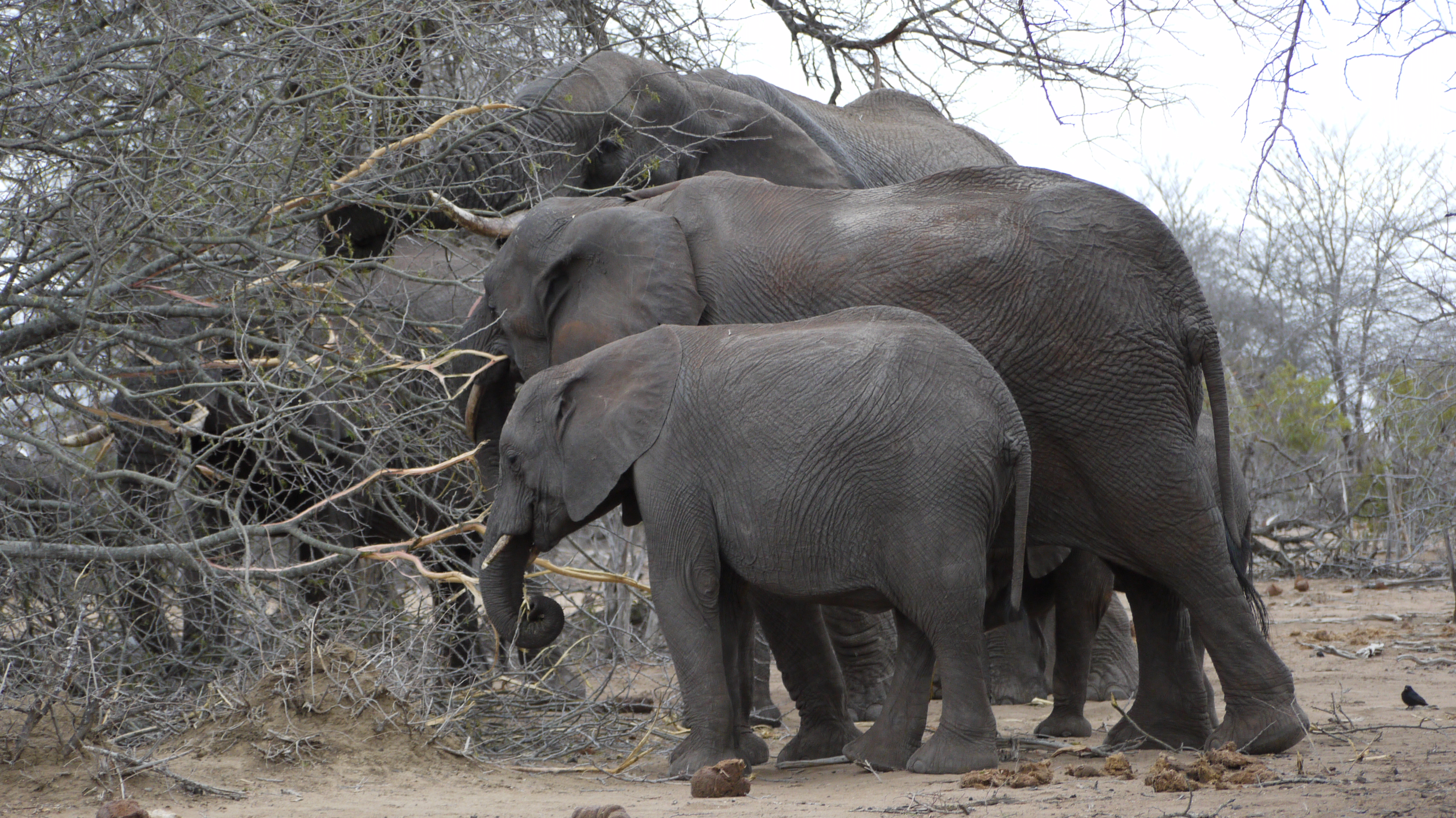 Elephants in the Kruger