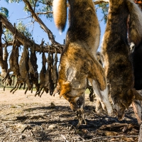 South Australia is still killing dingoes