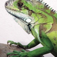 How much is that iguana in the window?